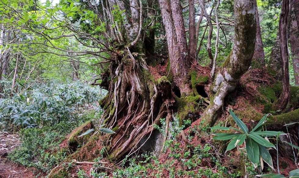 岩の上に樹木