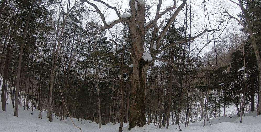 下りの立派な巨木